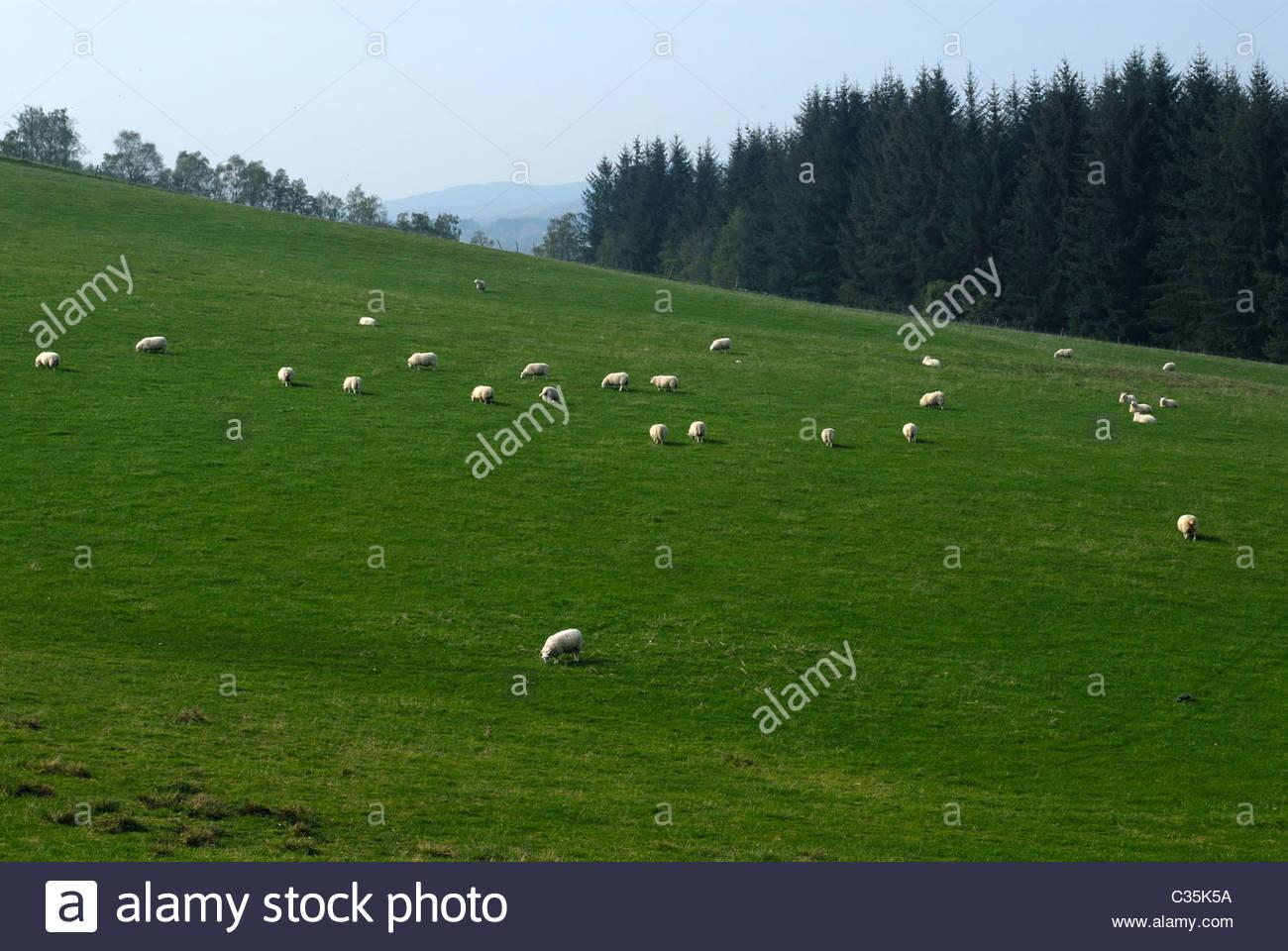 Drumnadrochit, Highland Region, Scotland, UK Sheep graze in the Scottish highlands. - Stock Image