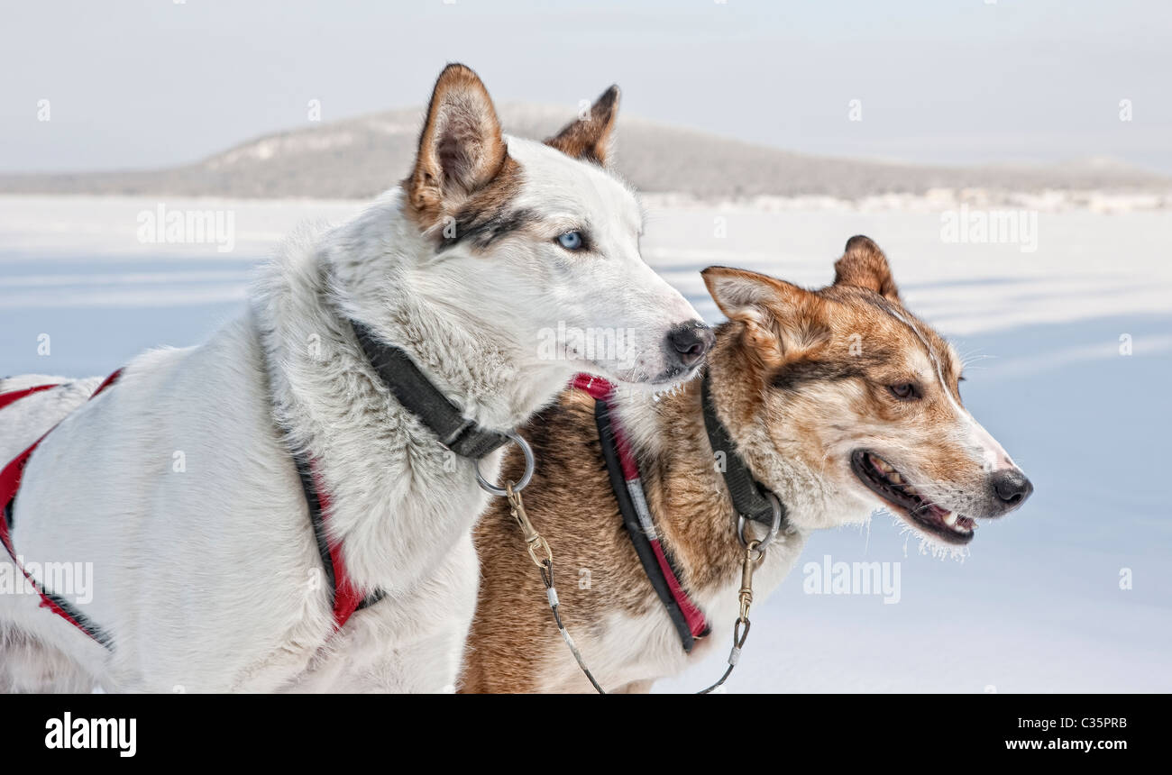 Huskies. Working sled dogs, Lapland, Sweden. - Stock Image