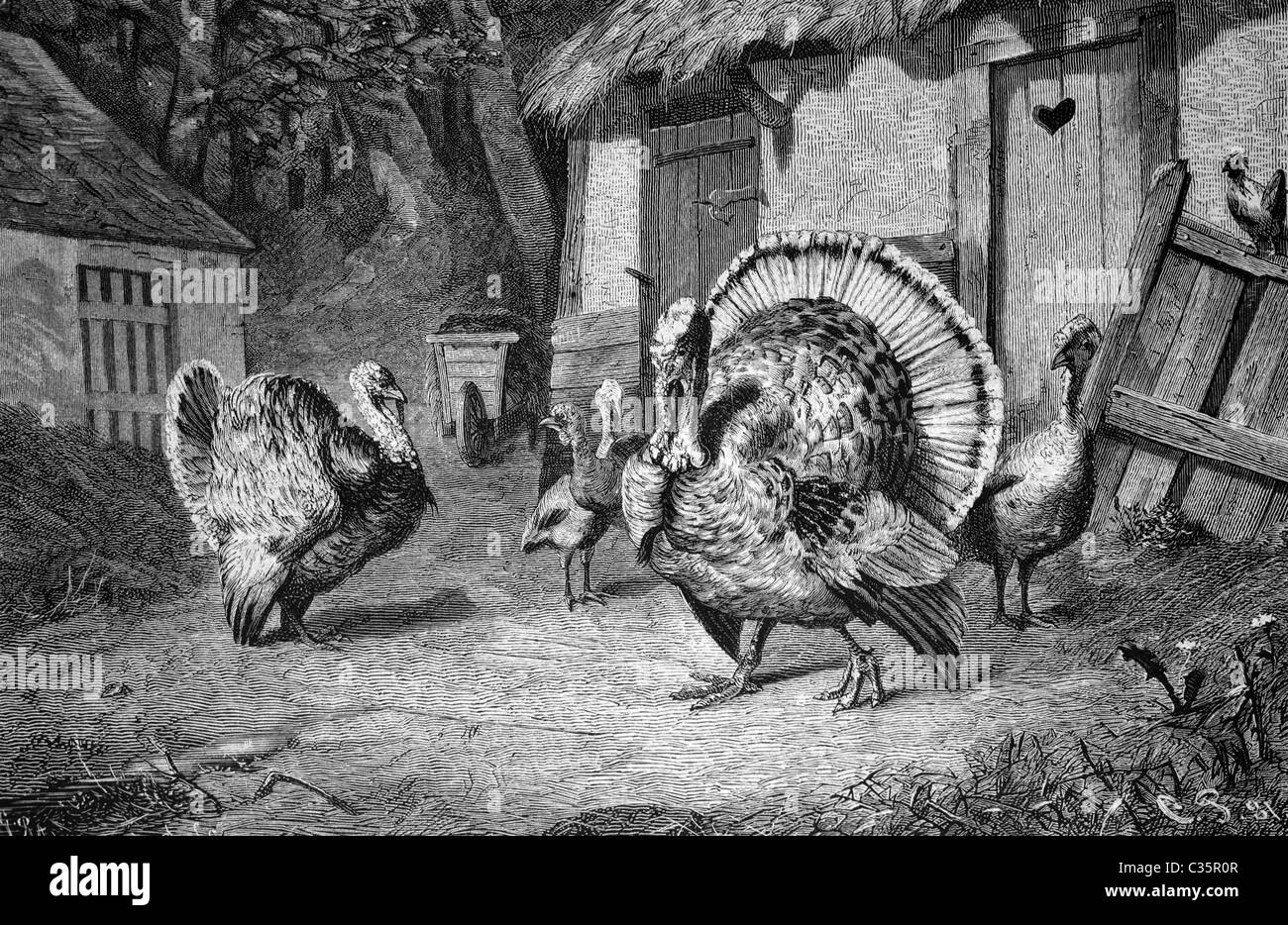 Turkeys, historical image 1886 - Stock Image