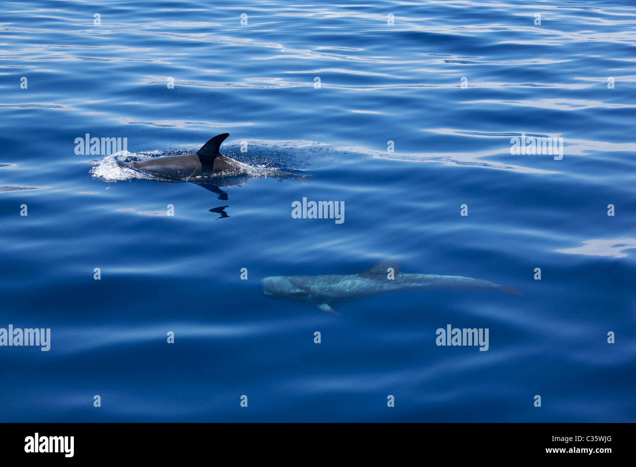 Dolphin watching in Atlantic ocean, Fajal, Azores Island, Portugal, Europe - Stock Image