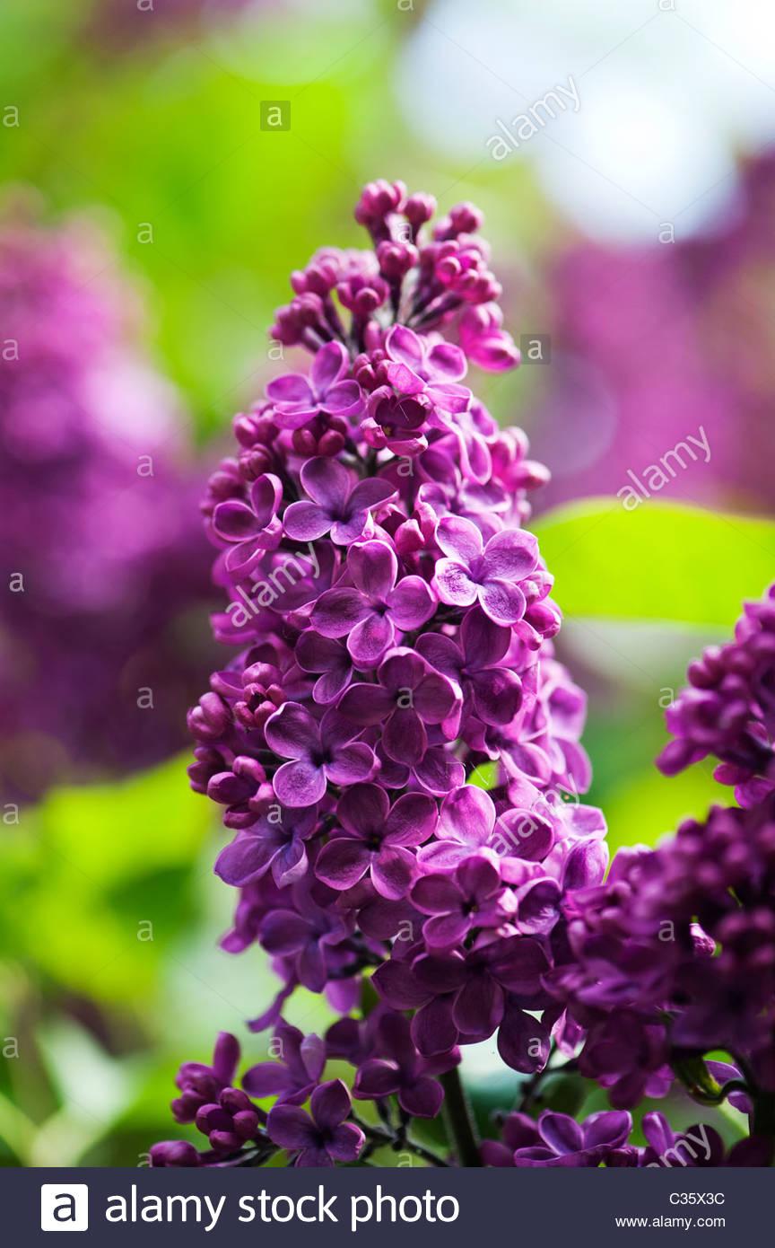 Syringa vulgaris 'Souvenir de Louis Spaeth'. 'Souvenir de Louis Spaeth' lilac tree in flower at - Stock Image