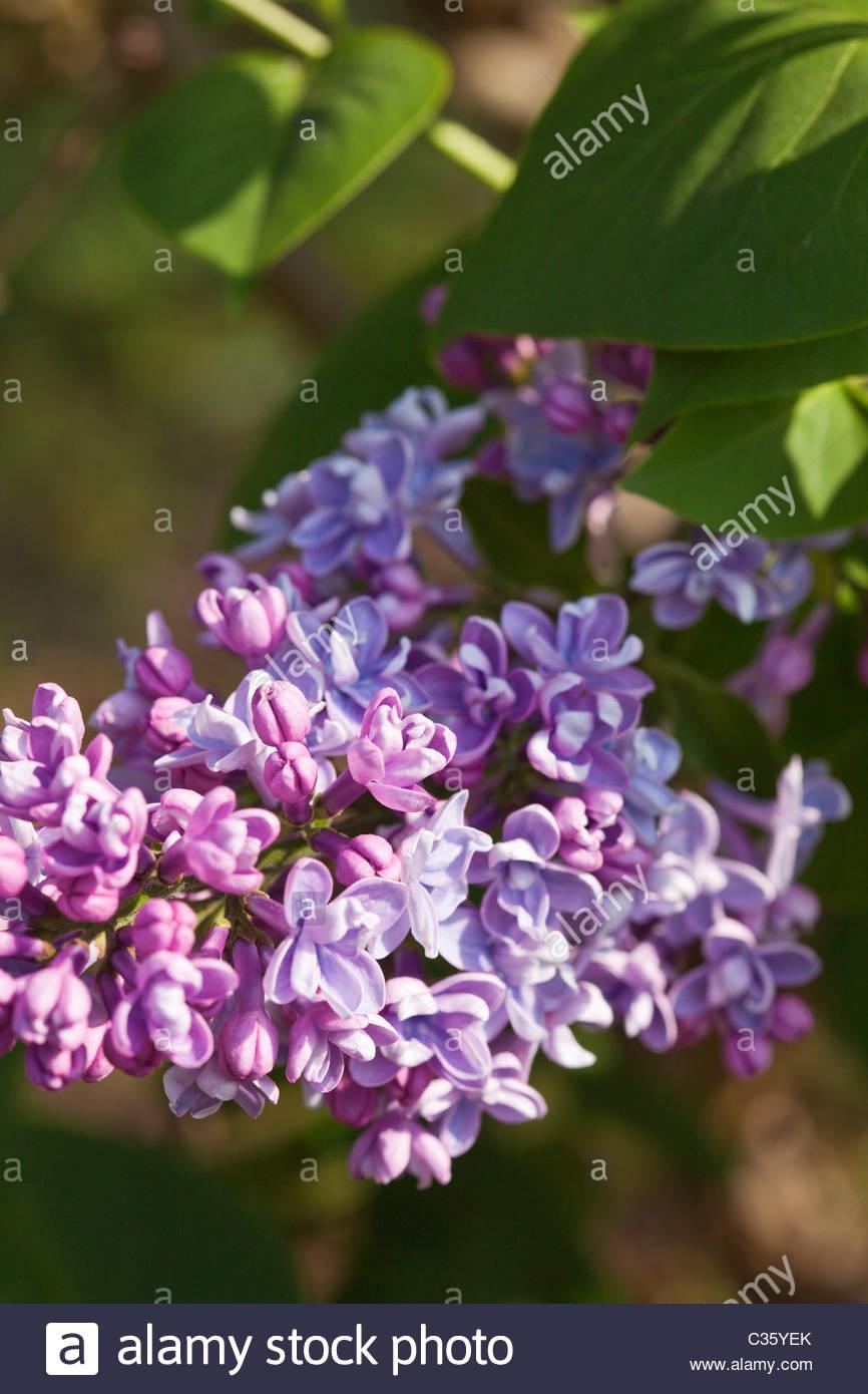 Syringa vulgaris 'Firmament' flowering in spring - Lilac - Stock Image