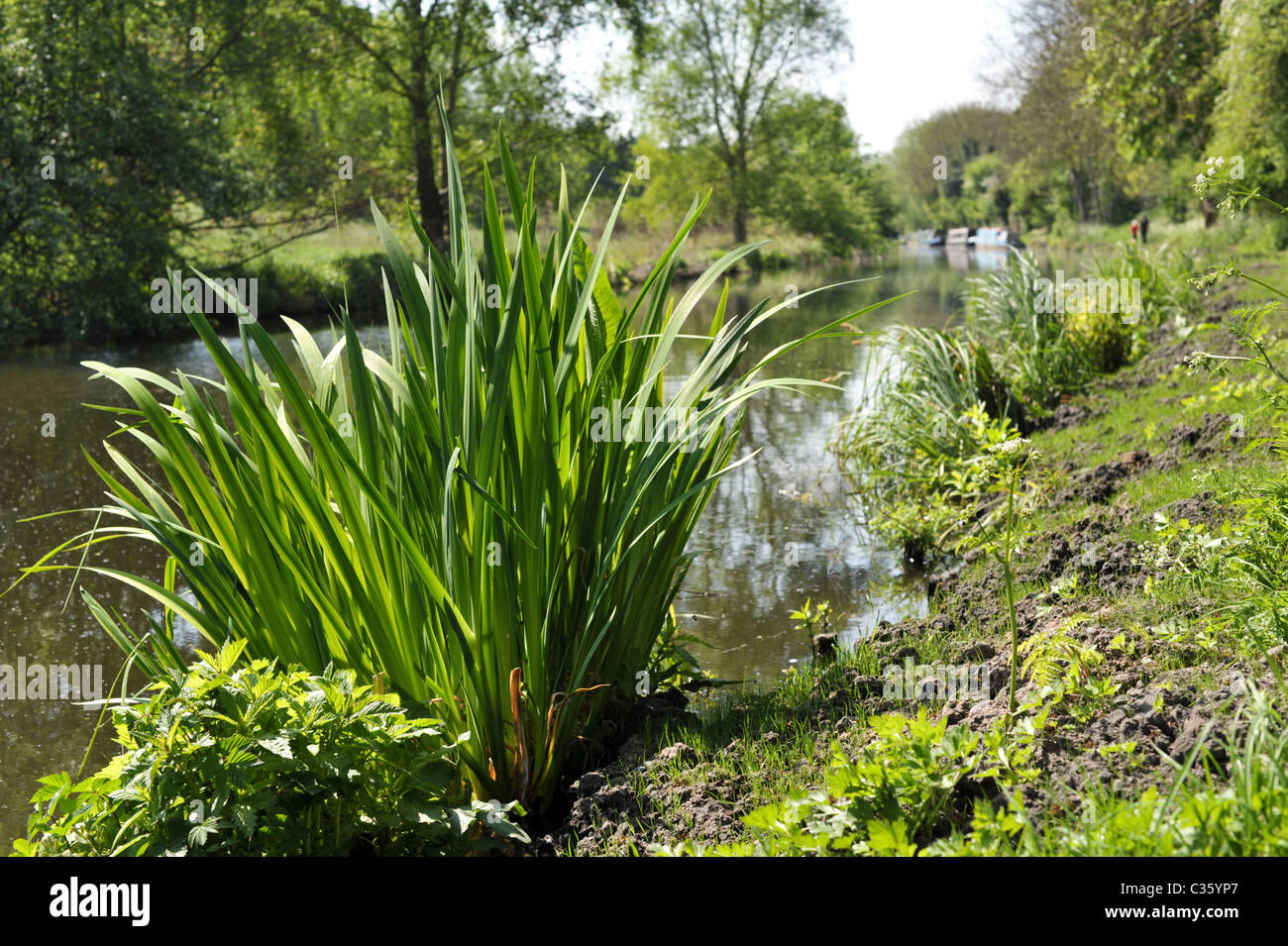 View of a tranquil canal from the towpath with lush green plants in the foreground on a bright summer day - Stock Image