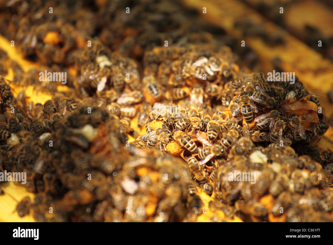 Colony of Western honey bees in the bee hive. - Stock Image