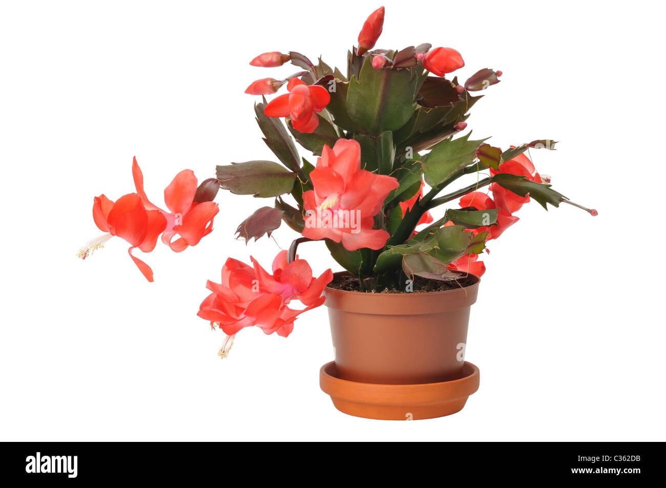 Blossoming Christmas Cactus (schlumbergera) - Stock Image