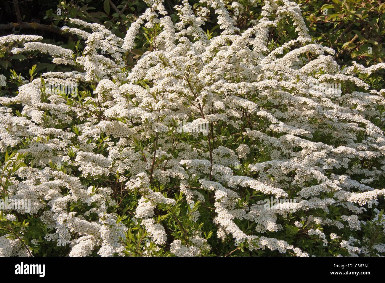 Spiraea Arguta Shrub With White Spring Flowers Stock Photo 36399357