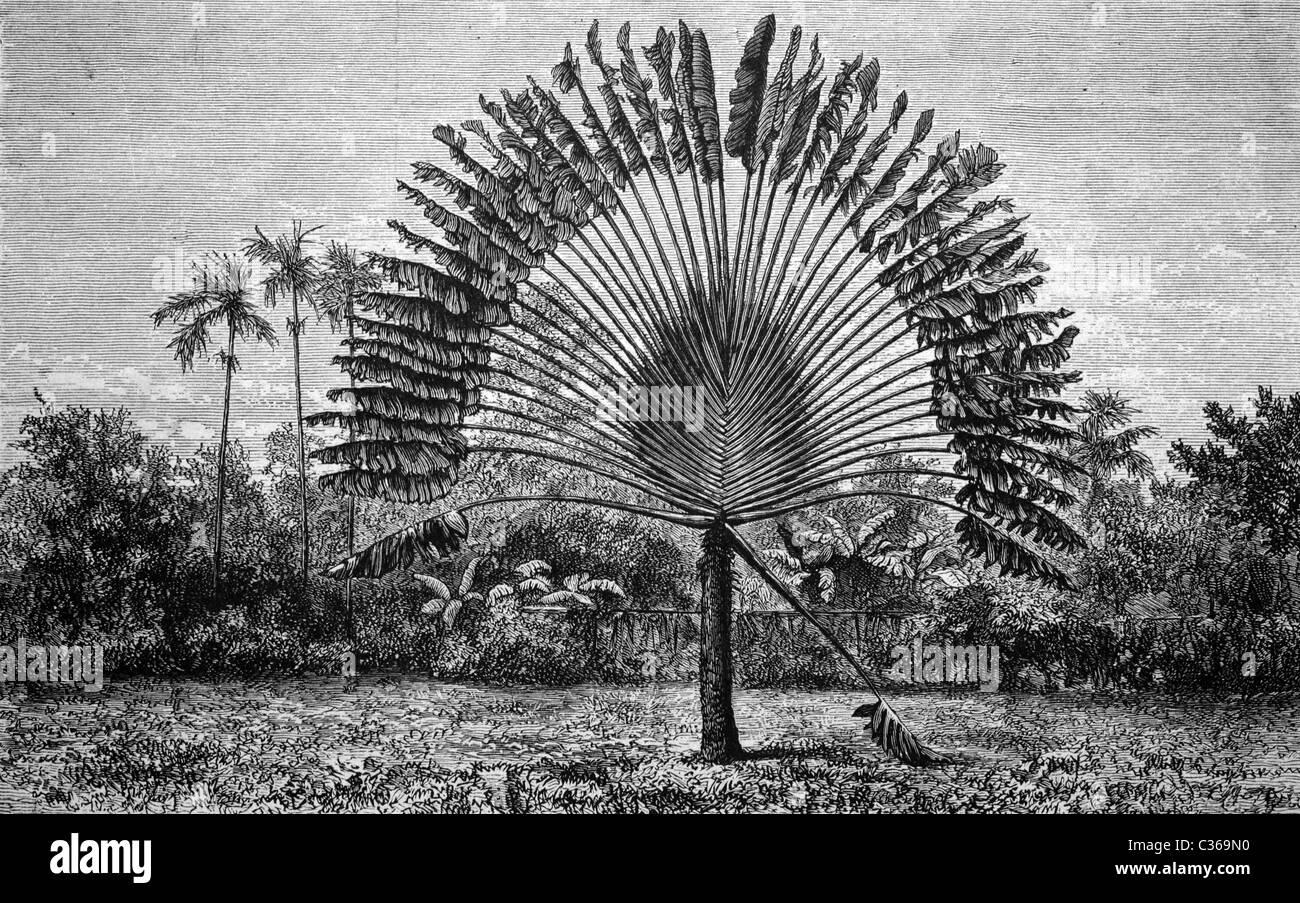 the famous Ravenala madagascariensis, tree of travelling people, historical image 1886 Stock Photo