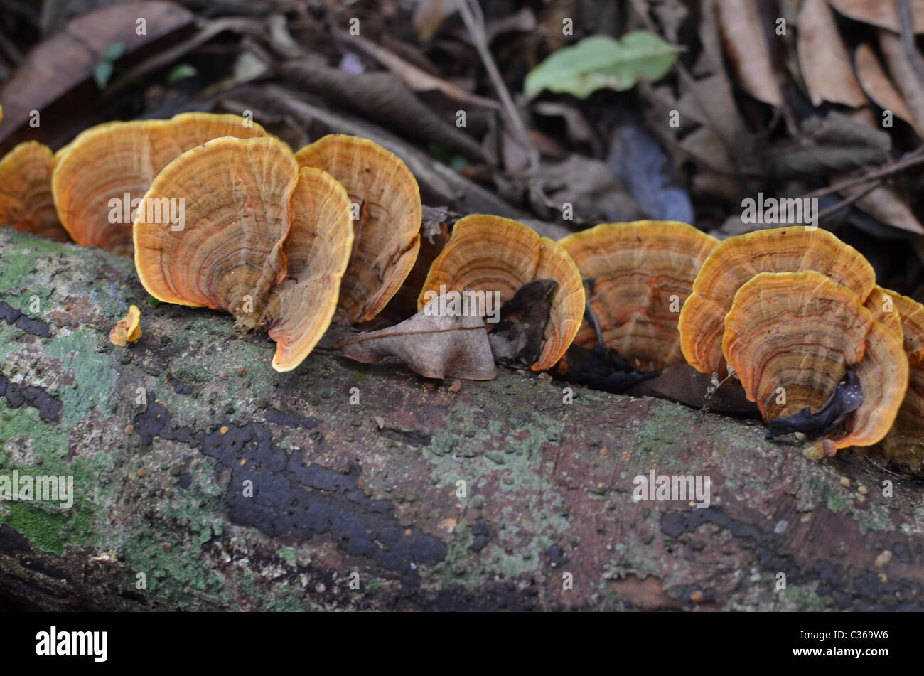 Bracket fungi growing on a decaying log at Mt Glorious in Queensland. - Stock Image
