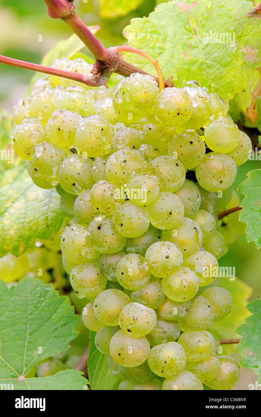 Weintraube weiss - grape white 06 Stock Photo