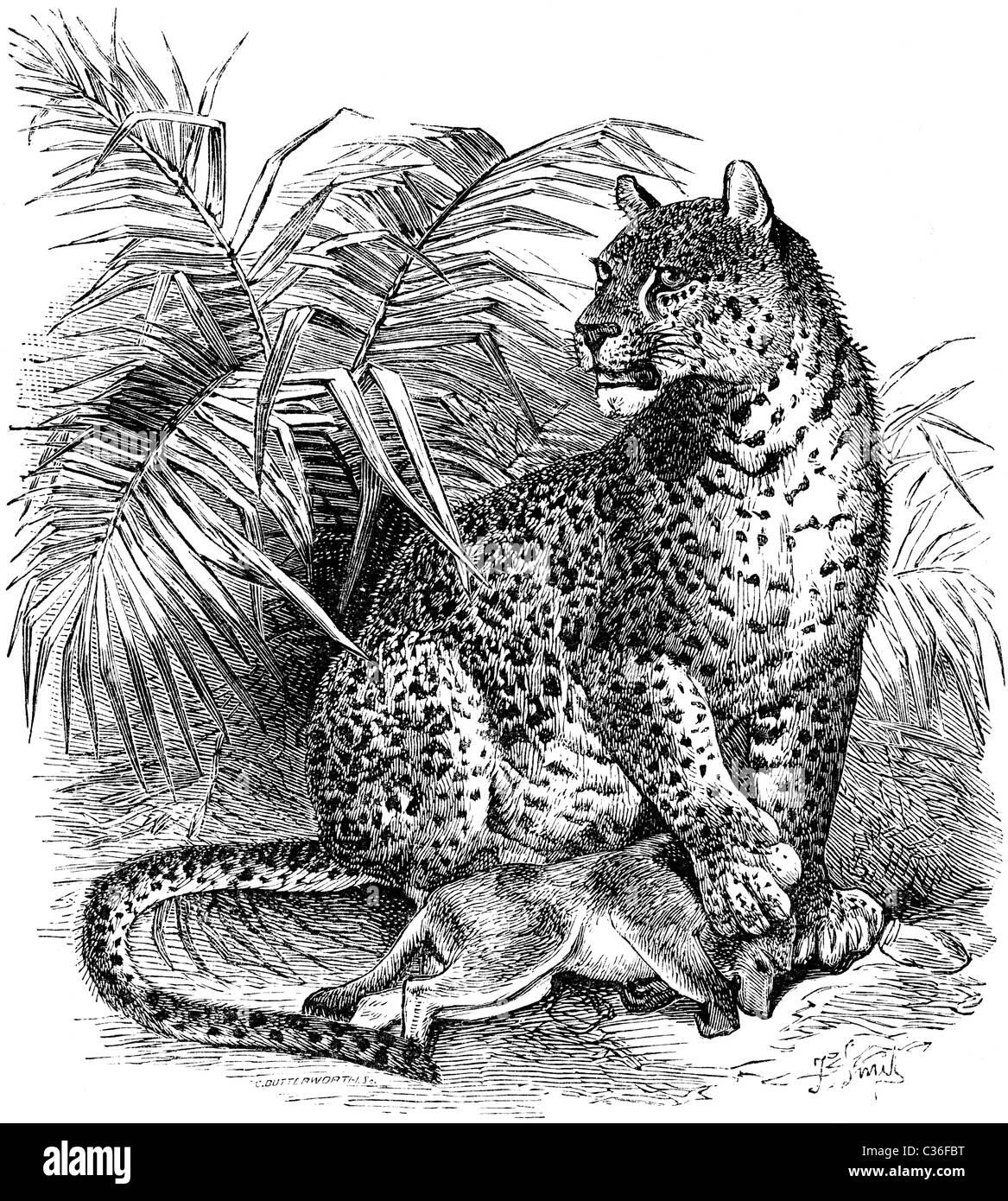 19th Century book illustration, taken from 9th edition (1875) of Encyclopaedia Britannica, of Leopard - Stock Image