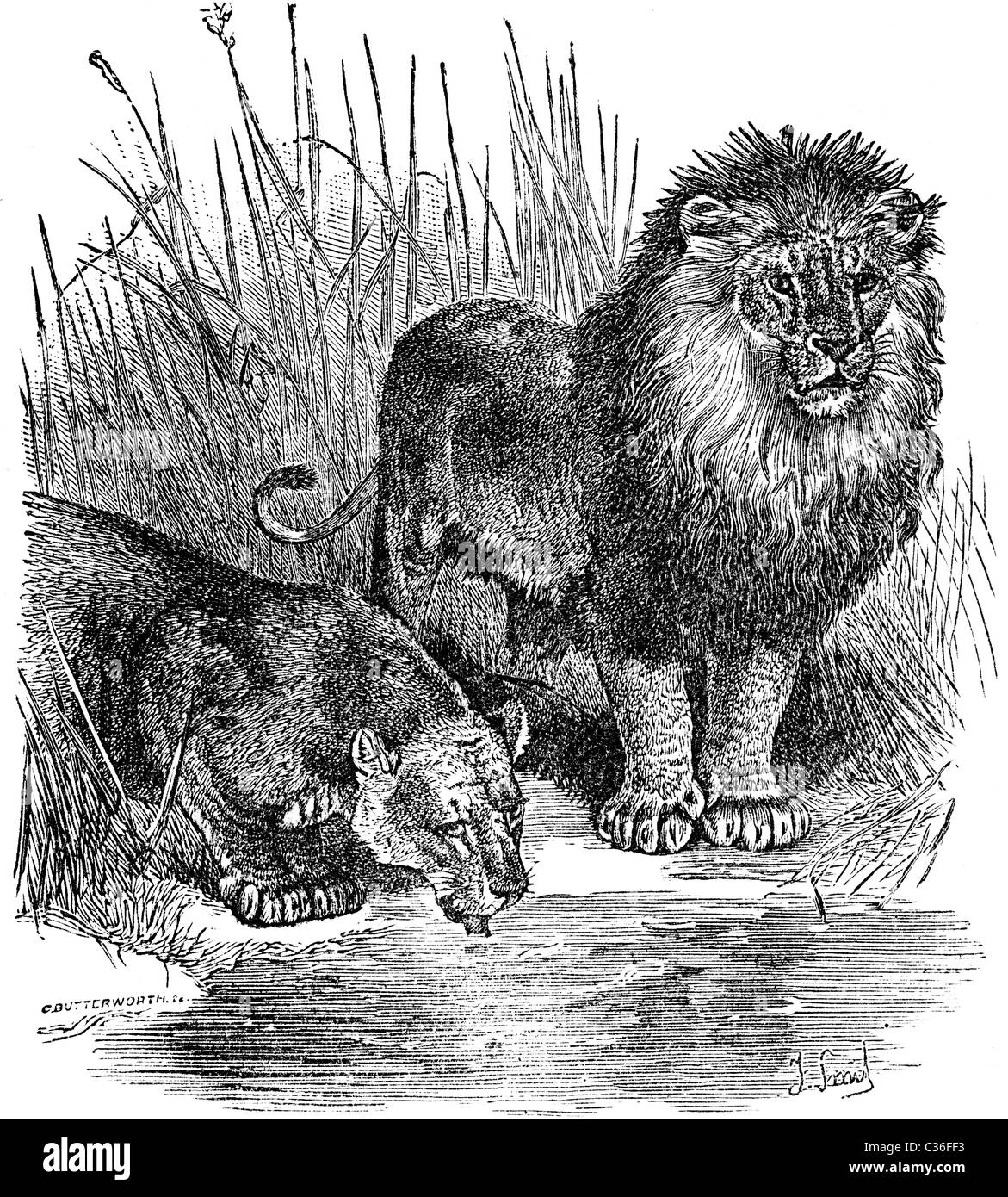 19th Century book illustration, taken from 9th edition (1875) of Encyclopaedia Britannica, of Lion and Lioness - Stock Image