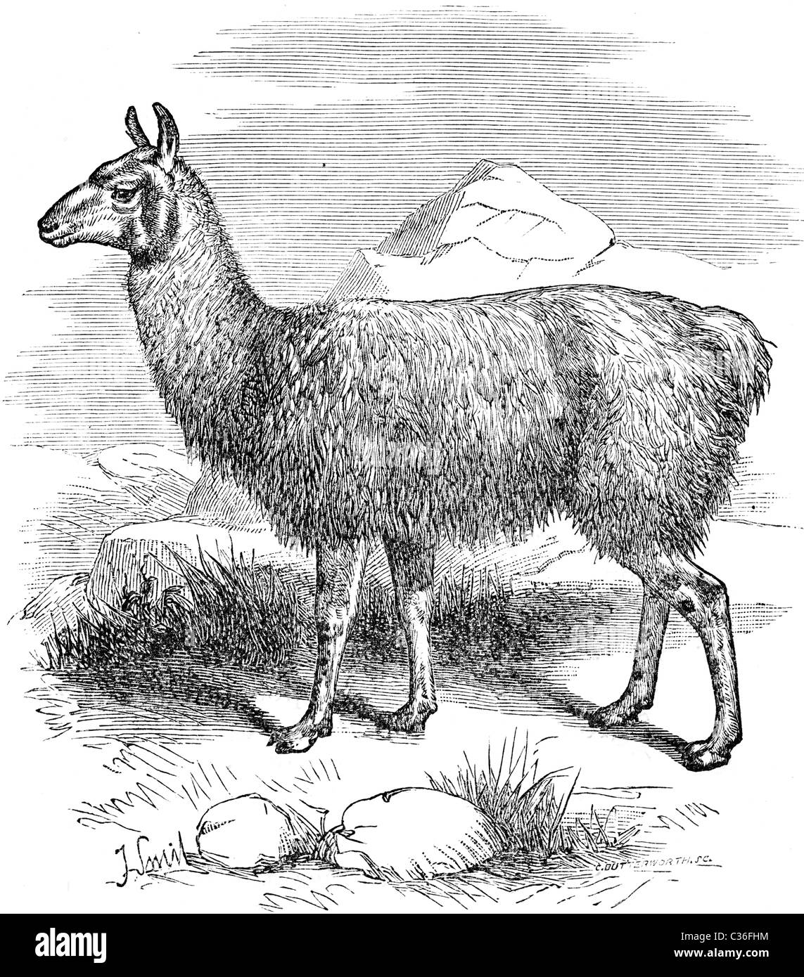 19th Century book illustration, taken from 9th edition (1875) of Encyclopaedia Britannica, of Llama - Stock Image