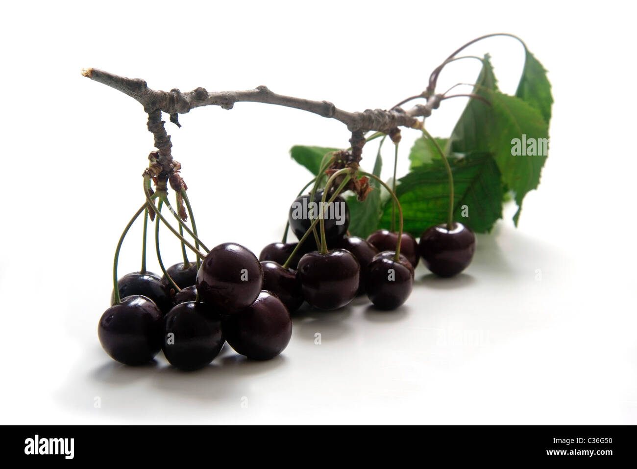 Cherry variety Kassins Frühe with twig and leaves - Stock Image
