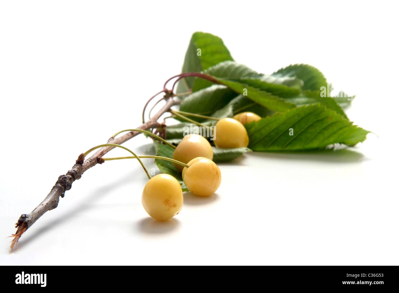 Cherry variety Schwefelkirsche  with twig and leaves - Stock Image
