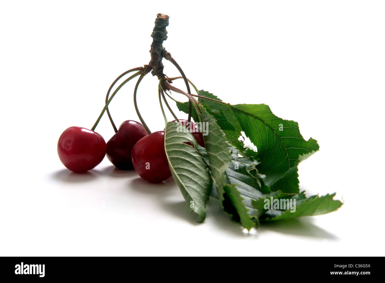 Cherry variety Braunauer  with twig and leaves - Stock Image