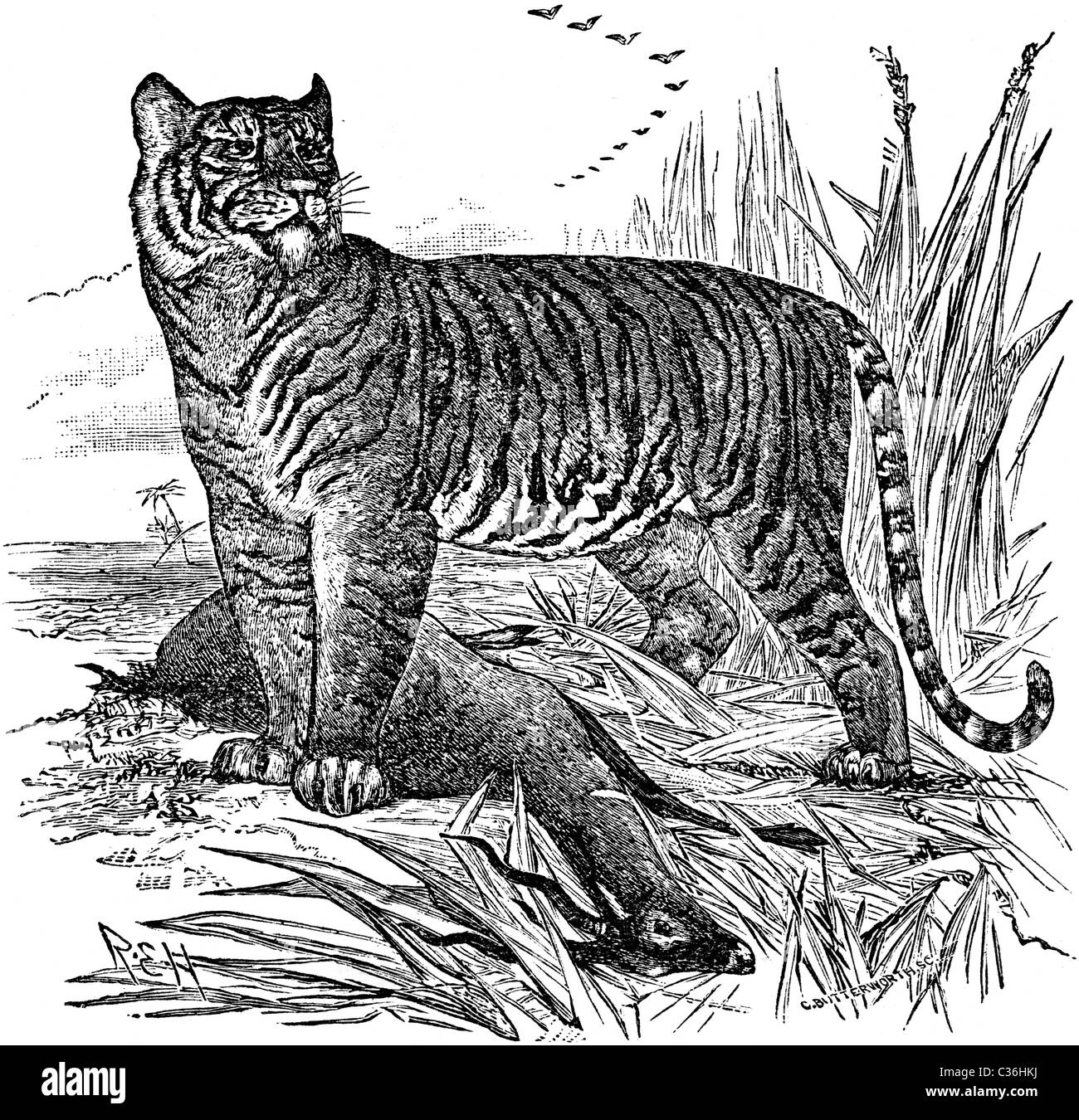 19th Century book illustration, taken from 9th edition (1875) of Encyclopaedia Britannica, of Tiger - Stock Image