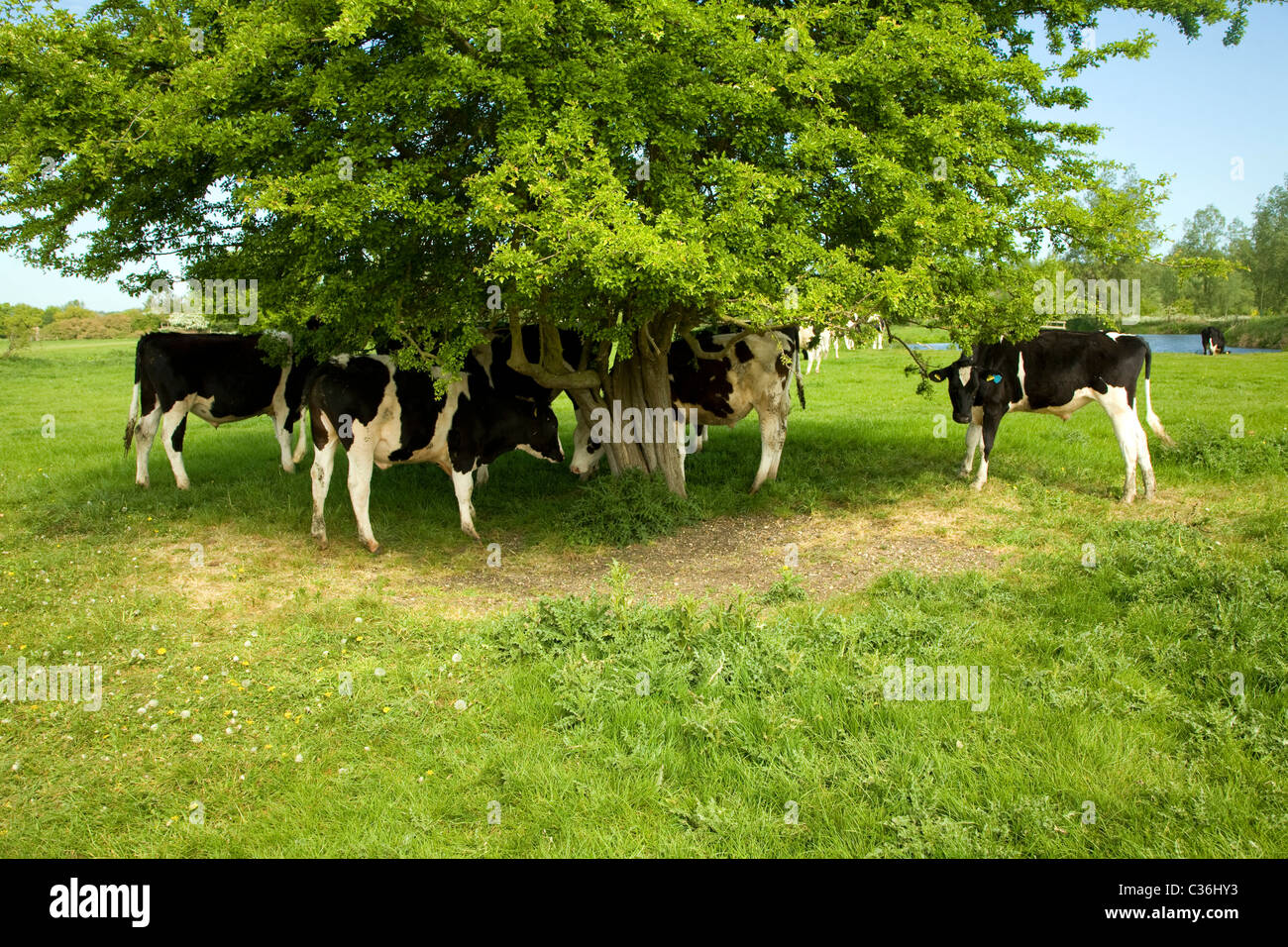 Young bullock calves graze under hawthorn tree river Stour valley Dedham Vale England - Stock Image