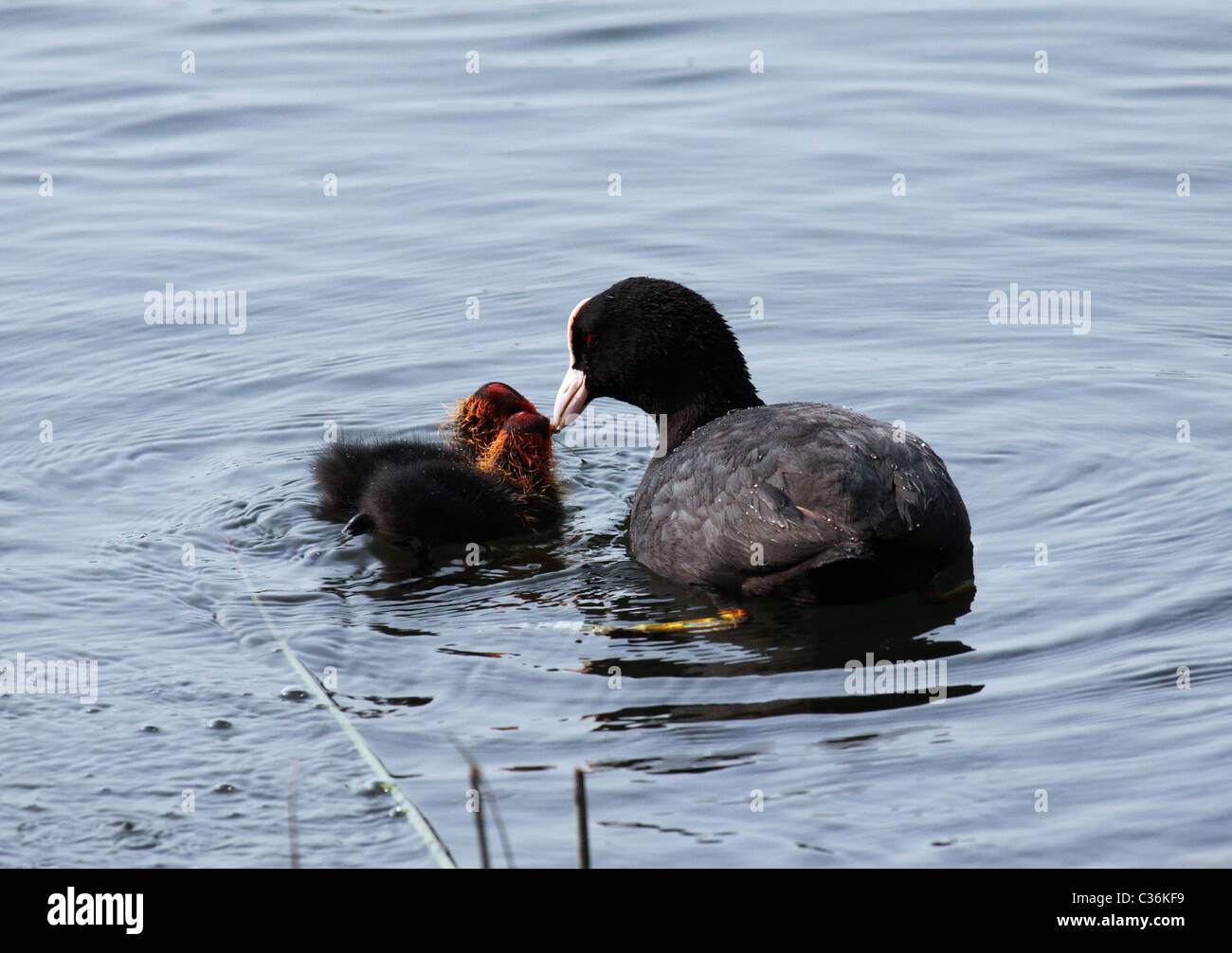 Coot feeding chicks Stock Photo