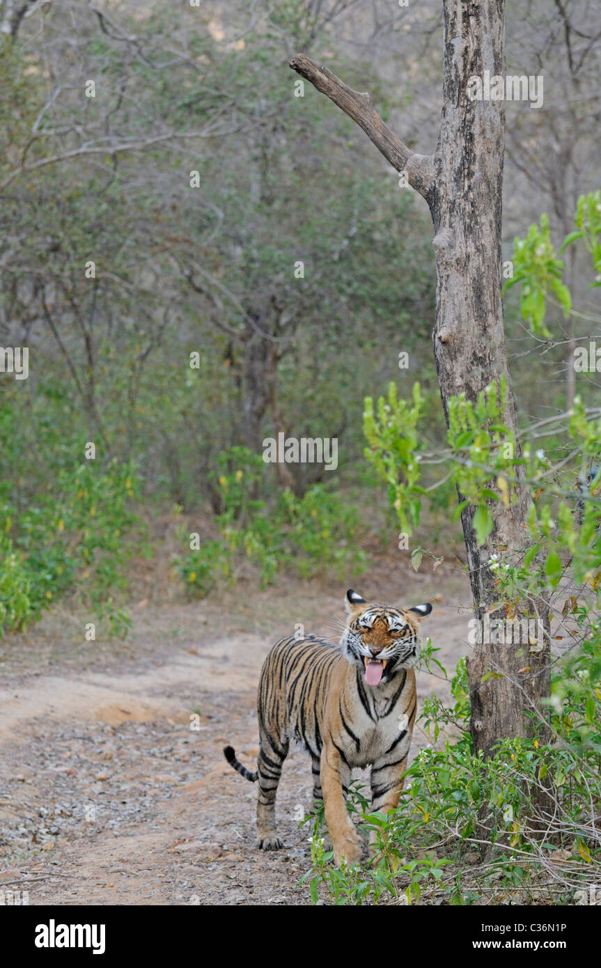 Tiger snarling (flehmen display) on a forest road in Ranthambhore in a misty morning - Stock Image