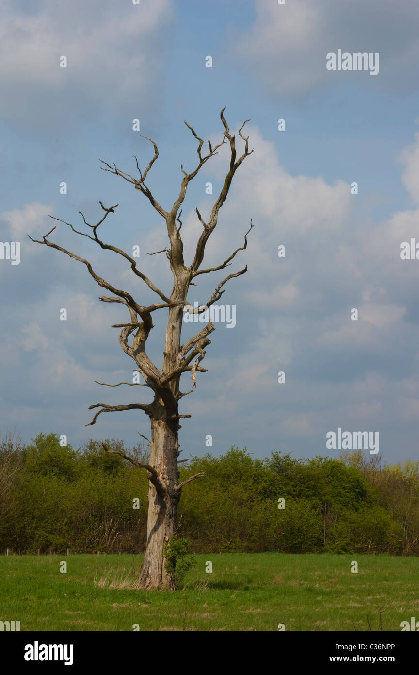 Solitary 'Dead Tree' in the middle of a field Stock Photo