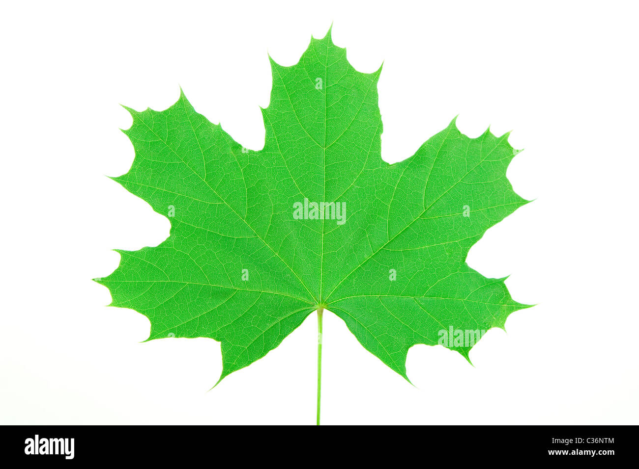 Front View Of Green Maple Leaf On White Background Canada Symbol