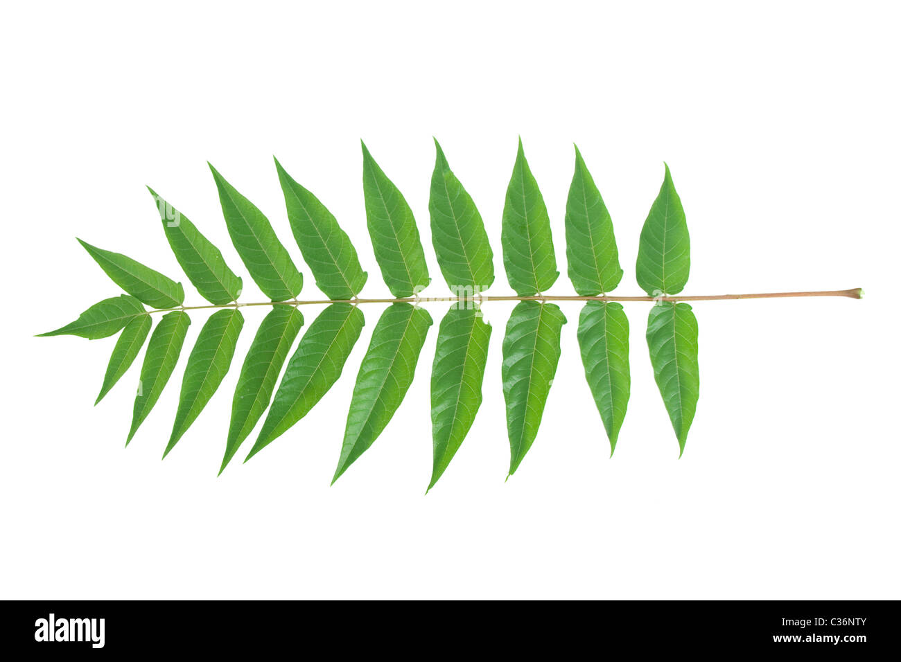 front view of green leafs on white background - Stock Image