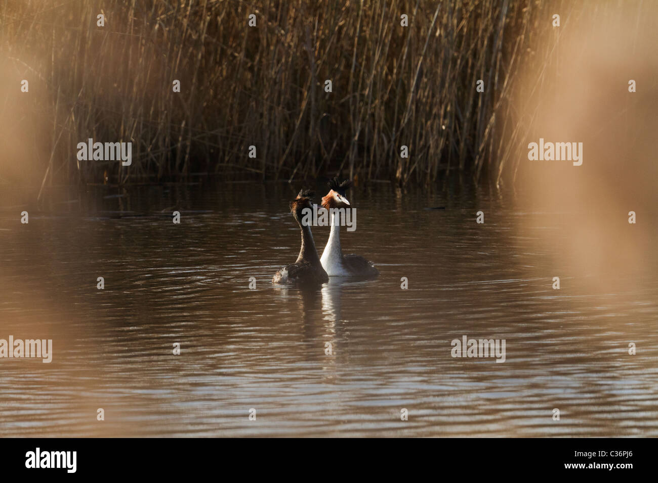 A pair of great crested grebes performing part of their courtship ritual. - Stock Image