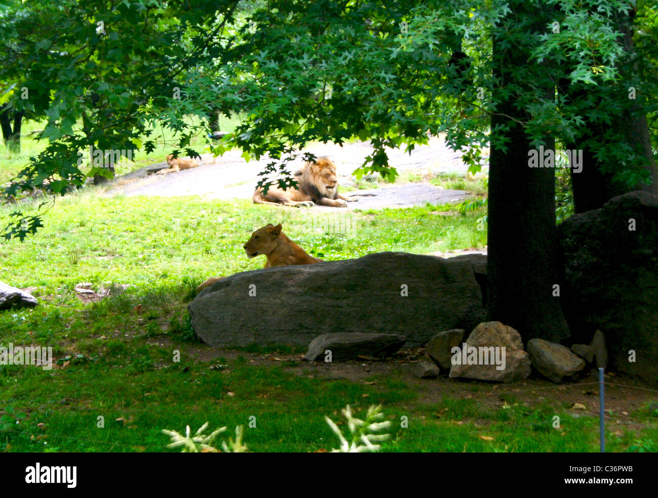 Lioness and Lion relaxing at the Bronx Zoo in New York City - Stock Image
