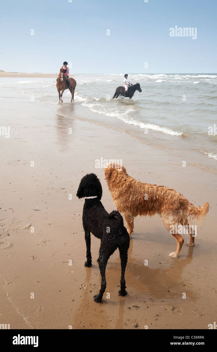 Two girls riding their horses with their dogs, Holkham beach,  Norfolk, UK - Stock Image