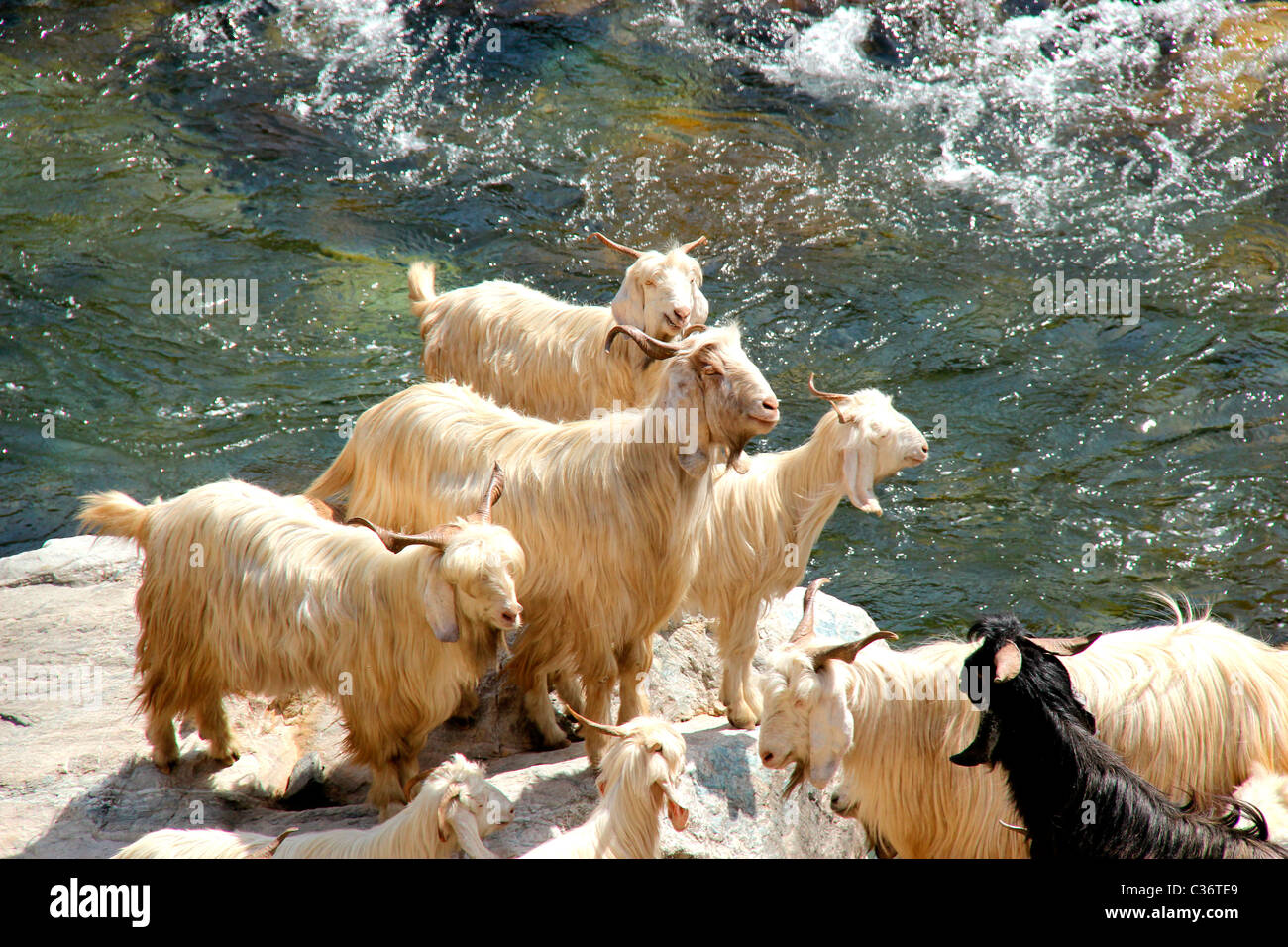 Mountain goats in Himachal Pradesh, India - Stock Image