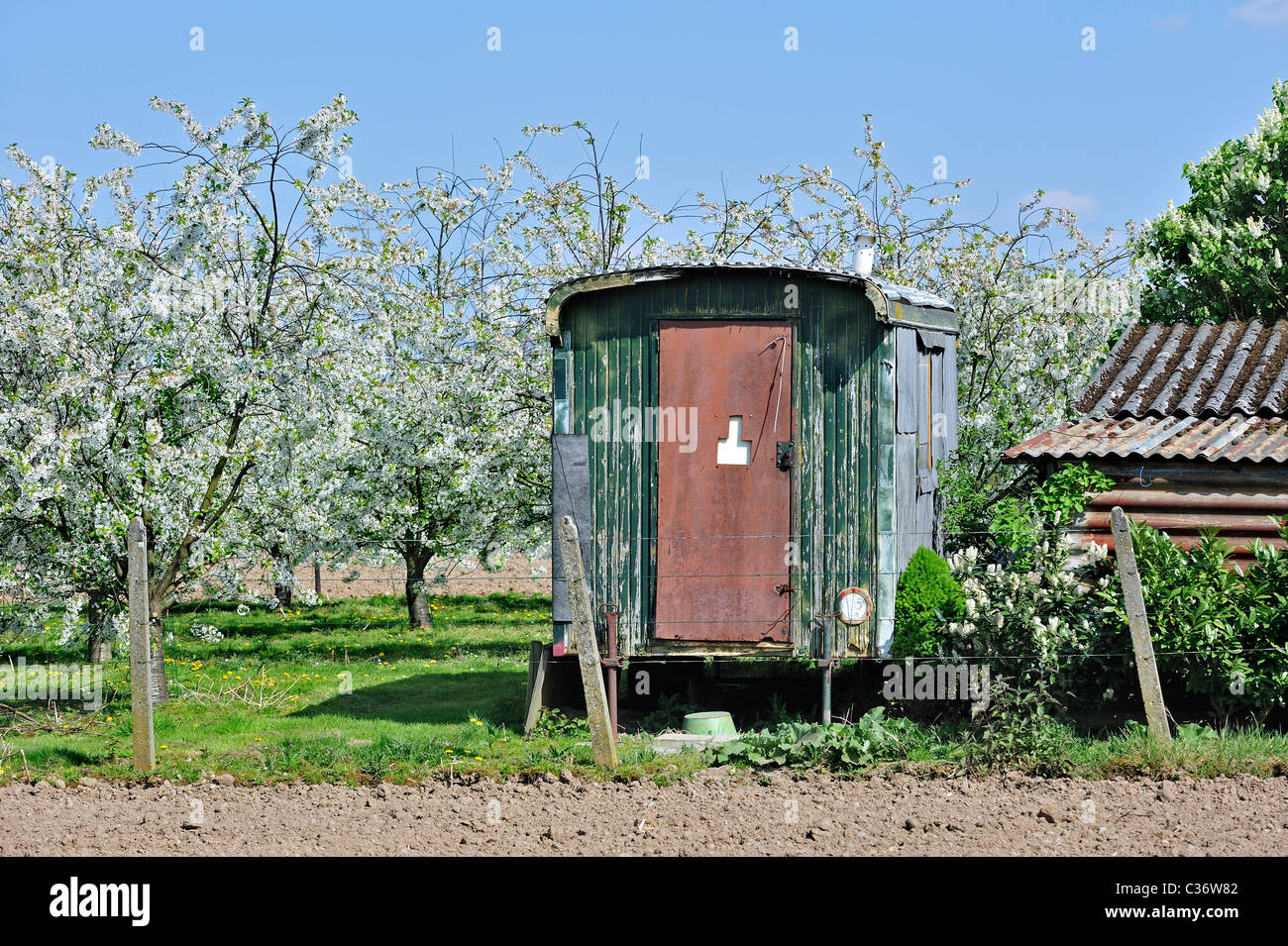 Shack and half-standard apple tree (Malus domestica) orchard flowering in spring, Hesbaye, Belgium - Stock Image