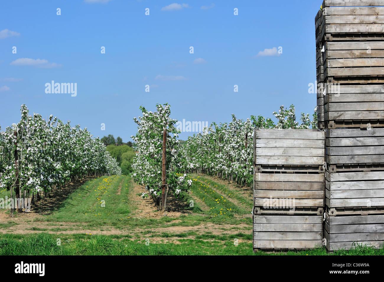 Planter Dans Une Caisse En Bois wooden crates stacked in half-standard apple tree (malus
