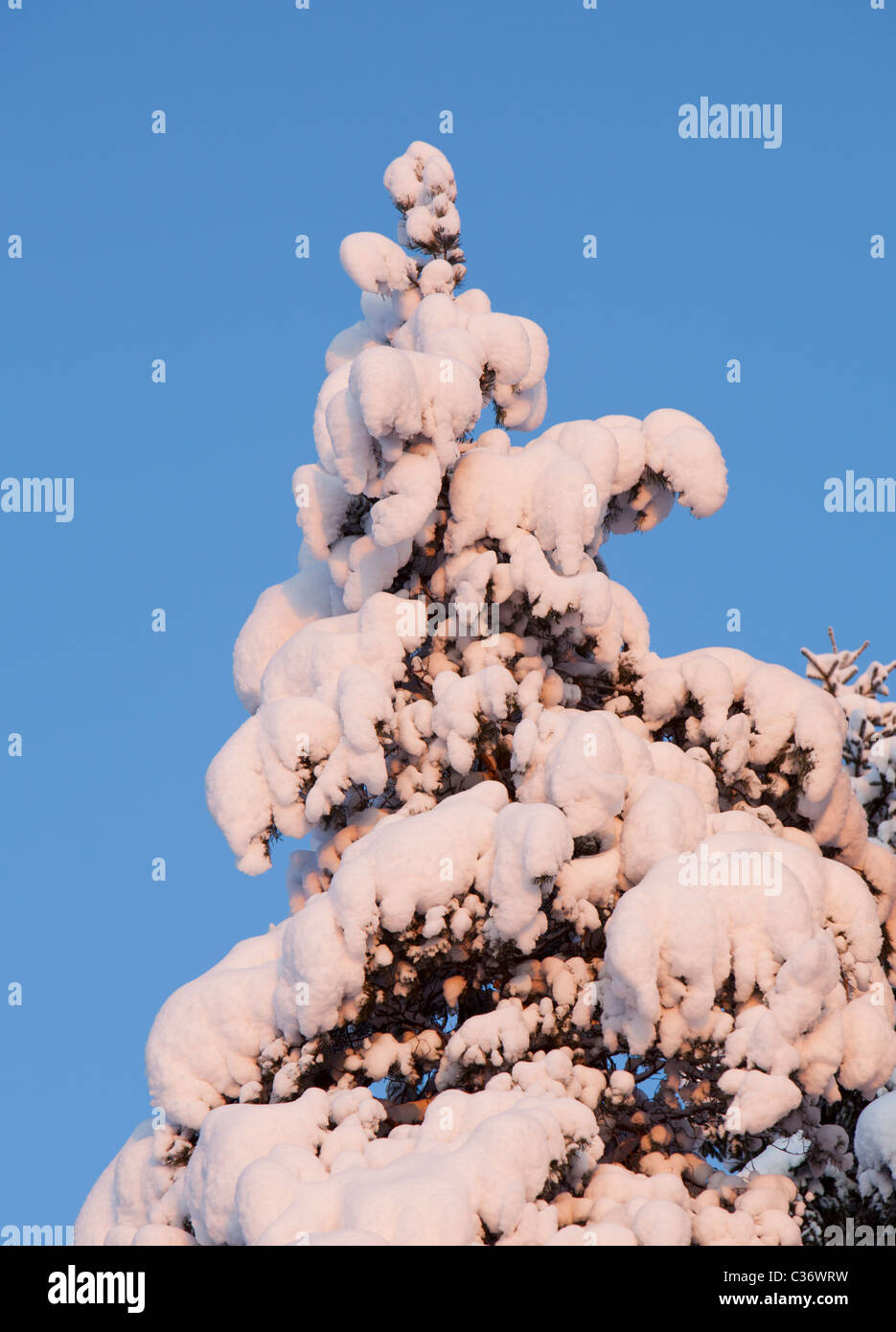 View of snow covered spruce ( Picea Abies ) treetop in the forest - Stock Image