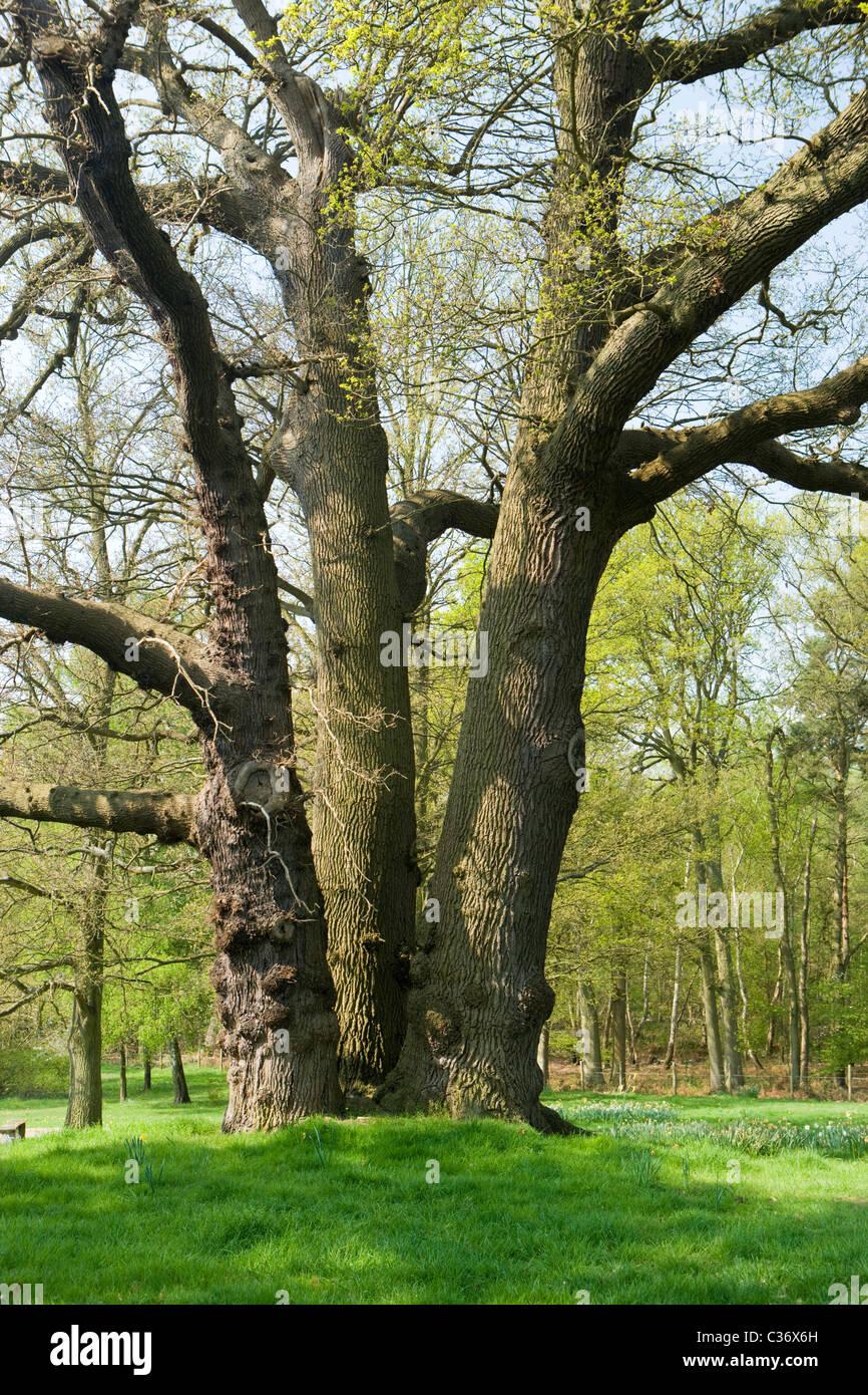 Large oak with multiple trunks, Surrey, UK - Stock Image