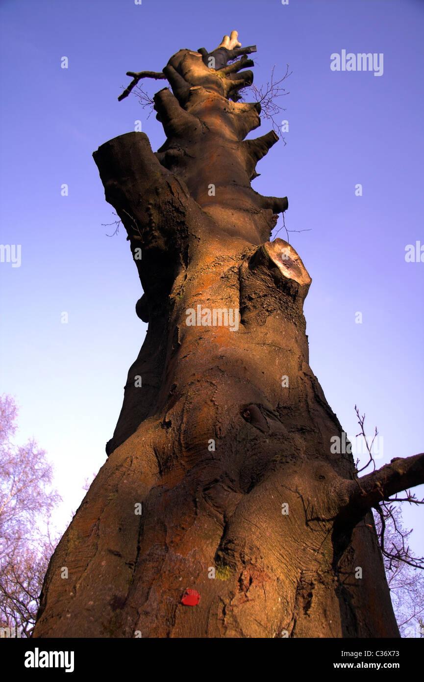 Woodland, tree trunk, Hardcastle Crags, Hebden Dale, near Hebden Bridge, West Yorkshire,  England, UK - Stock Image