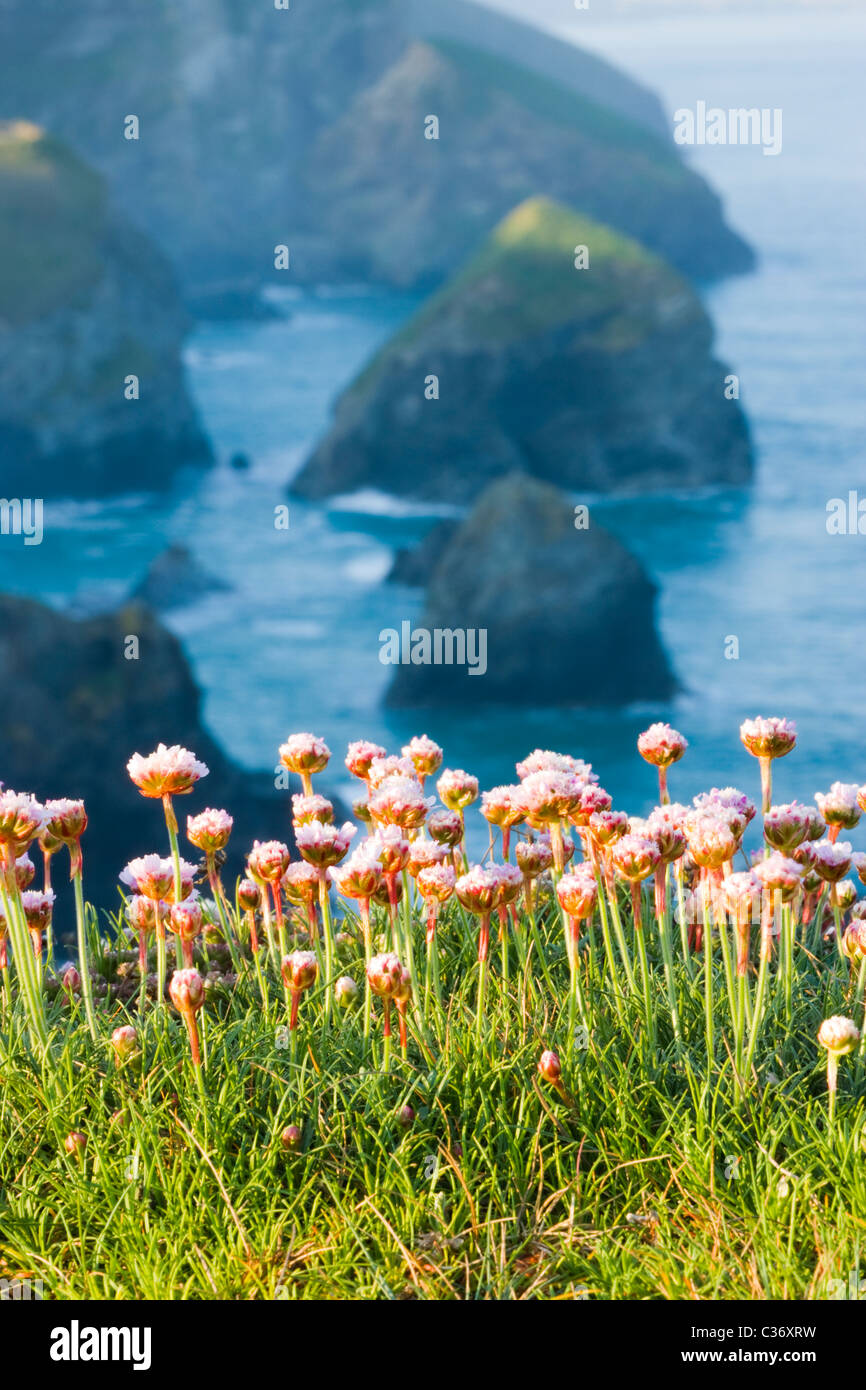 Thrift at Bedruthan Steps, Cornwall, UK - Stock Image