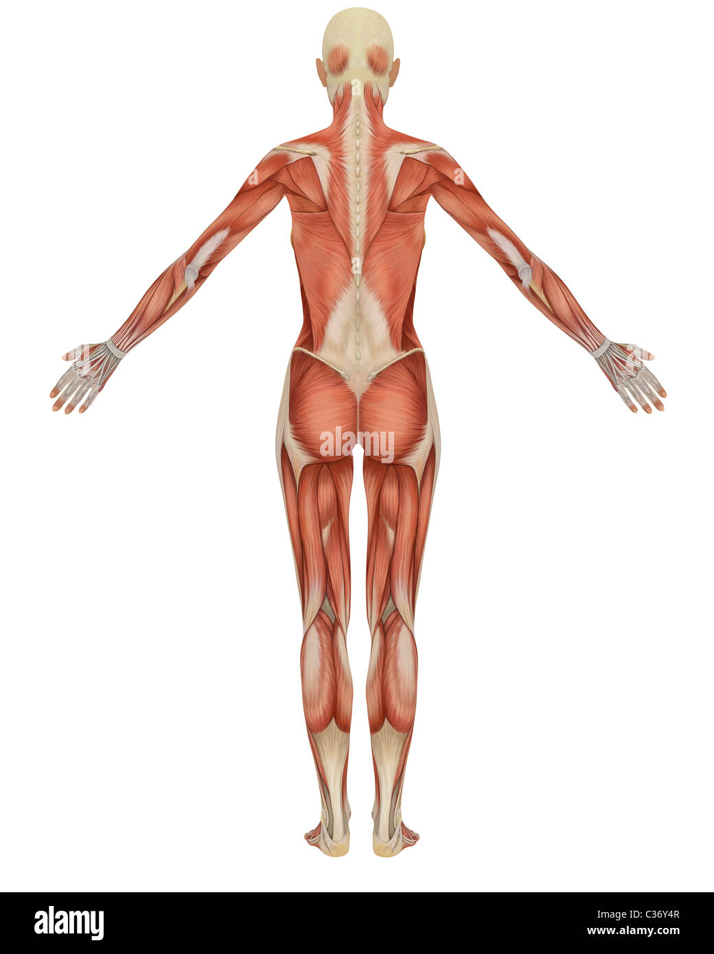 Female Anatomy Diagram Stock Photos Female Anatomy Diagram Stock