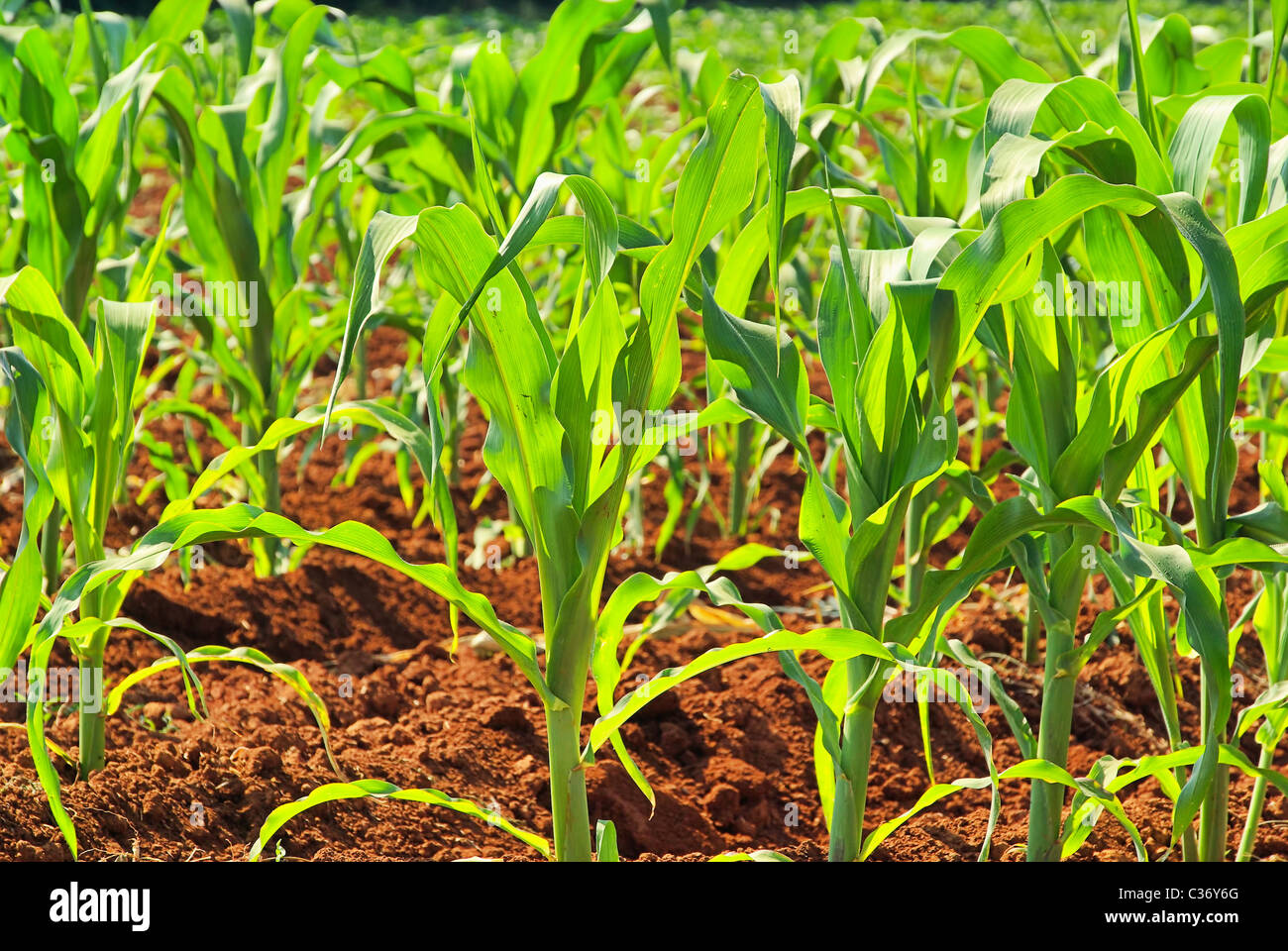 Maisfeld - corn field 07 - Stock Image