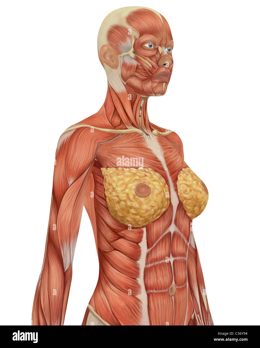 Upper Body Anatomy Stock Photos Upper Body Anatomy Stock Images