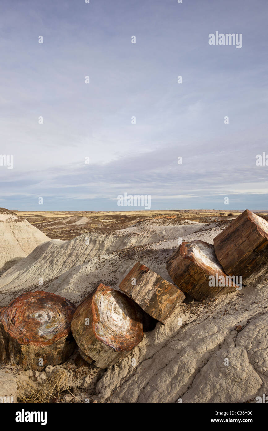 Petrified wood from extinct Araucarioxylon arizonicum Trees, Crystal Forest area, Petrified Forest National Park, - Stock Image