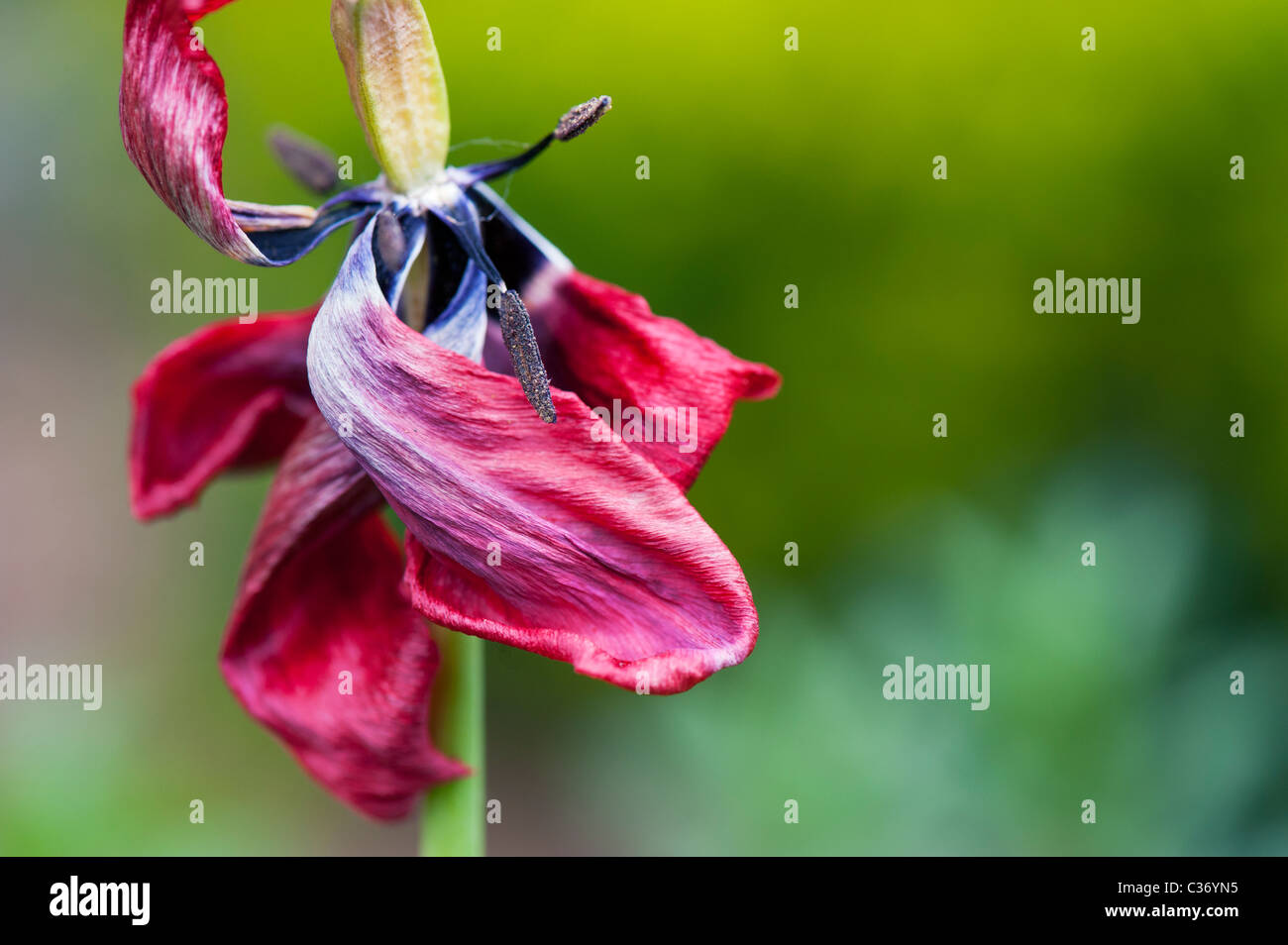 Dead wilting red tulip showing stamen and stigma in a garden - Stock Image