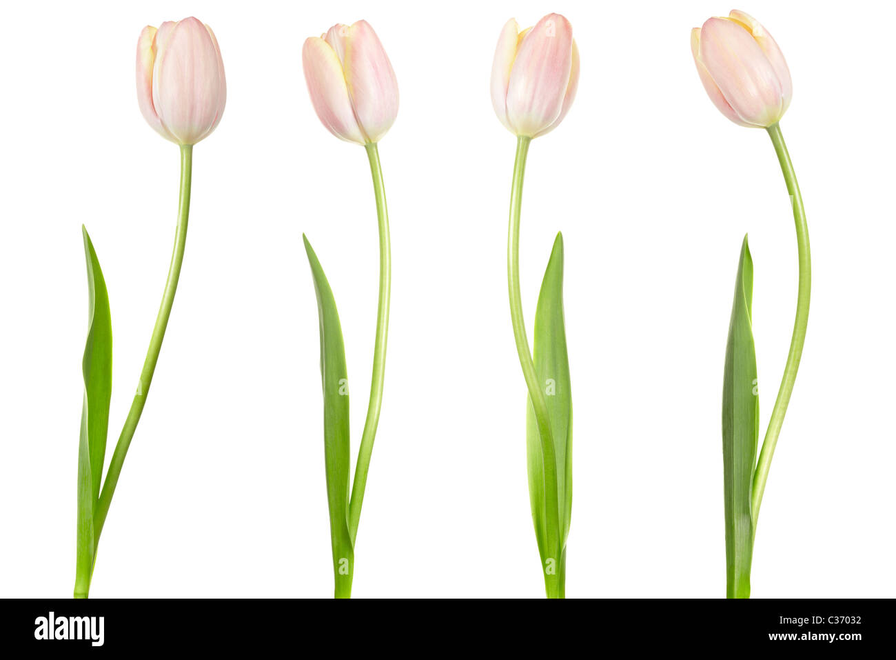 Tulips isolated - Stock Image