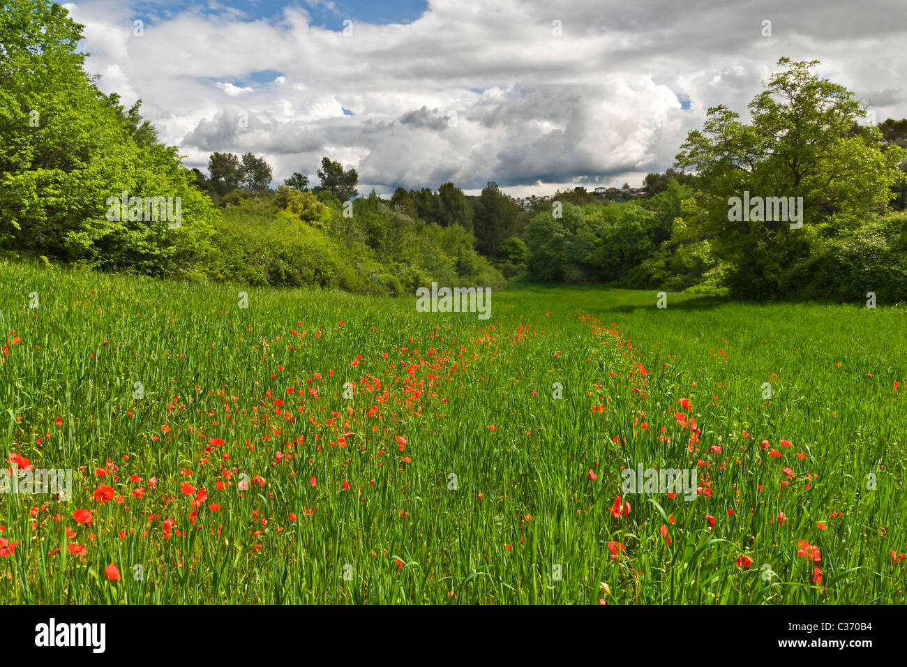 Red poppies in spring green field with cloudy sky - Stock Image