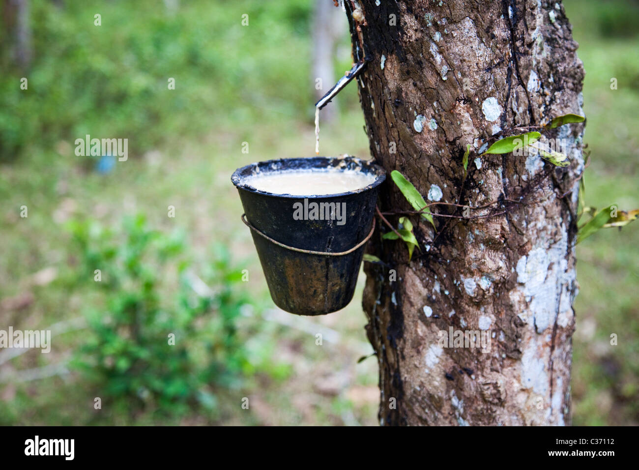 Latex Dripping from a Rubber Tree, Malaysia - Stock Image