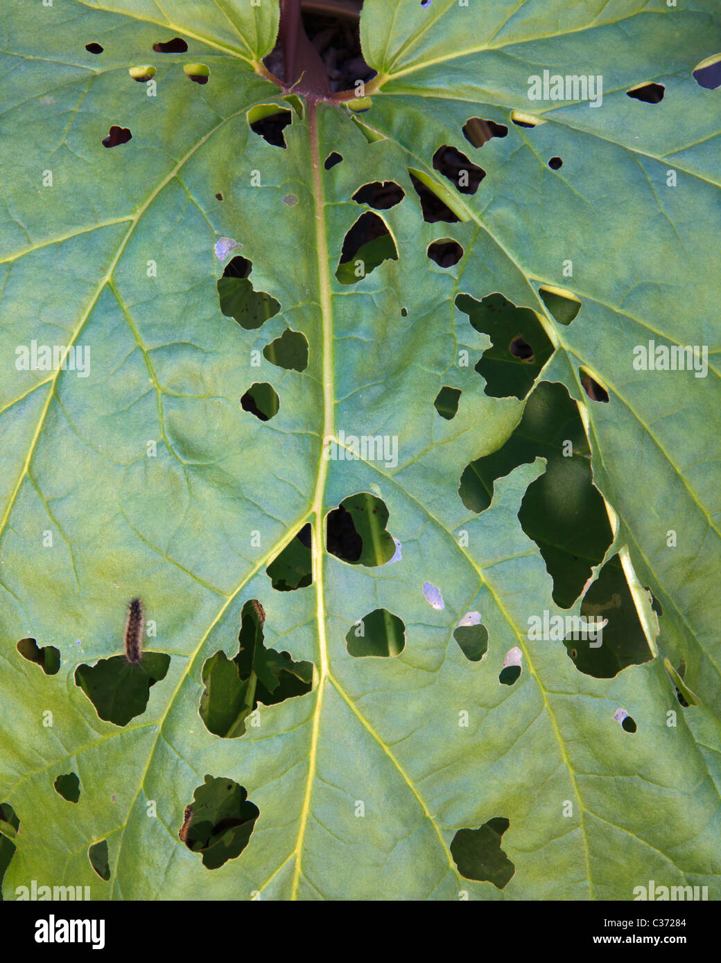 Rhubarb leaf  covered in holes from caterpillar damage - Stock Image