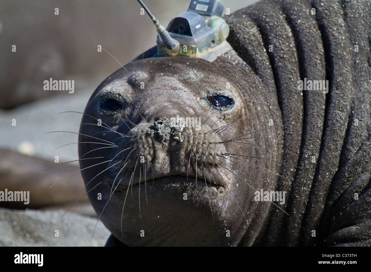 A female southern elephant seal with satellite or GPS tracking device glued to head, Royal Bay, South Georgia Island - Stock Image