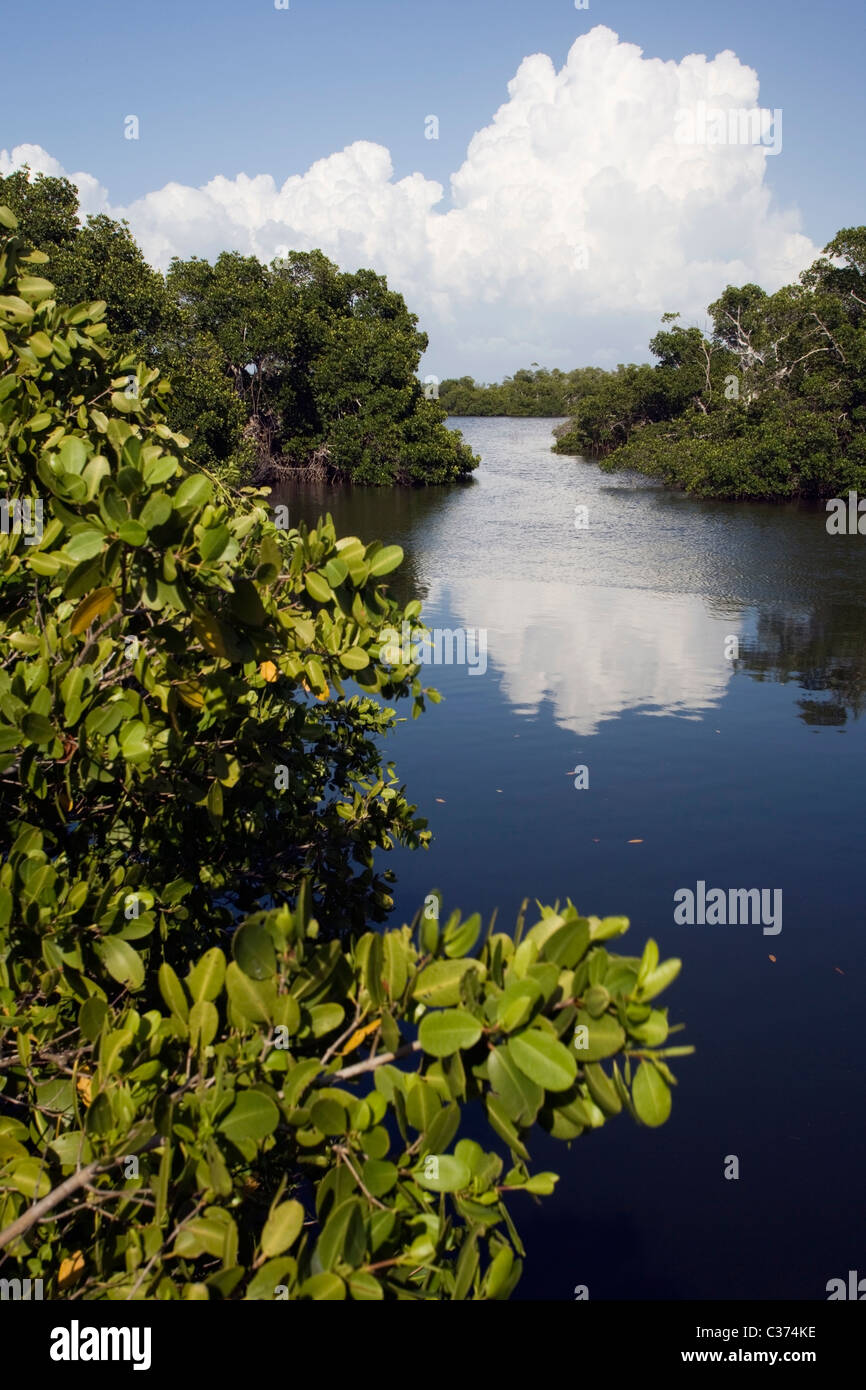Mangrove Habitat - J.N. Ding Darling National Wildlife Refuge - Sanibel Island, Florida - Stock Image