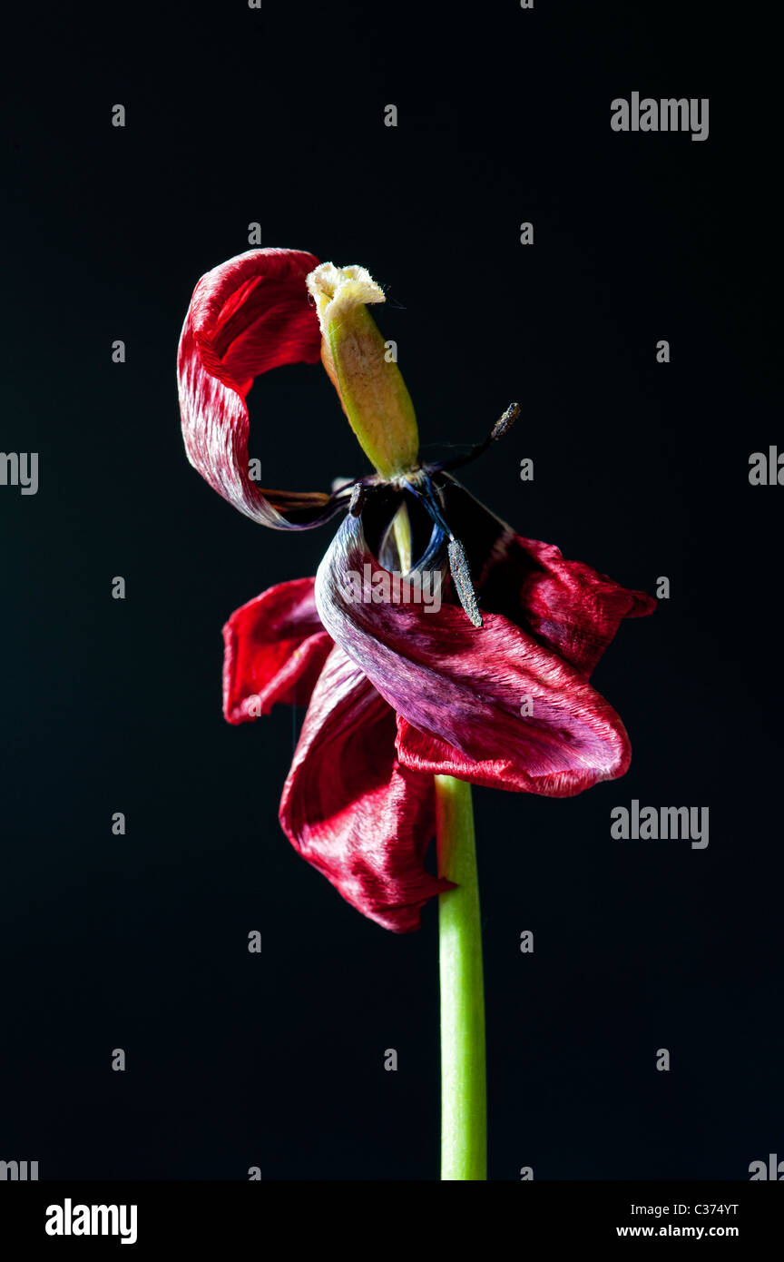 Dead wilting red tulip showing stamen and stigma against a black background - Stock Image
