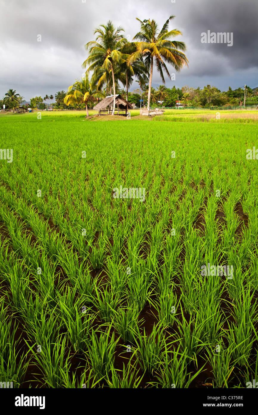Rice Field in Malaysia - Stock Image