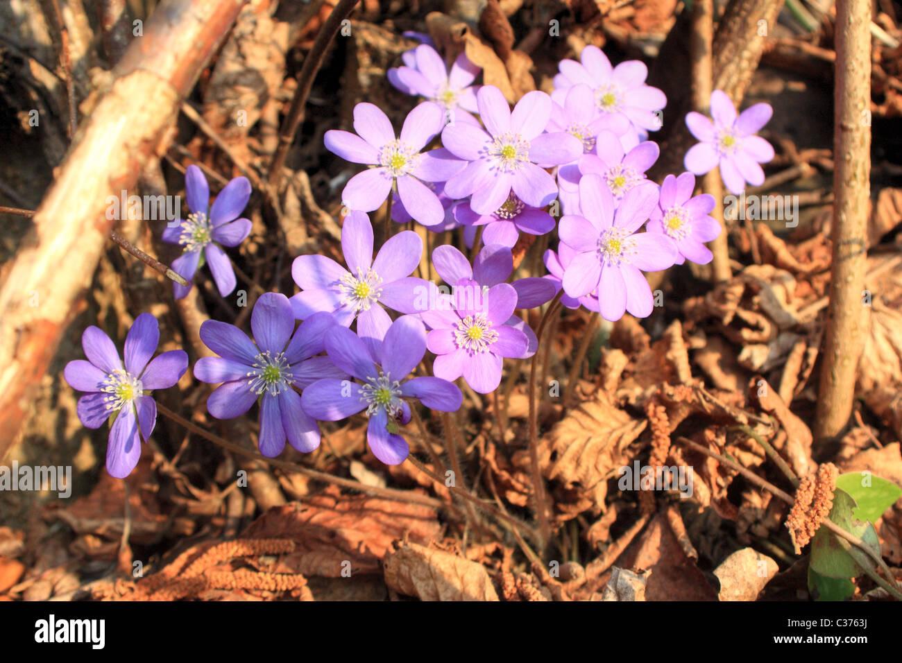 Hepatica nobilis, Common Hepatica, Liverleaf, Liver Leaf, Liverwort  -  Italy Stock Photo